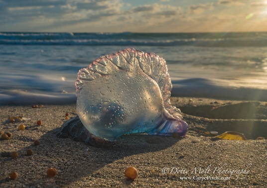 A Portuguese Man O War lit by the early morning sun.