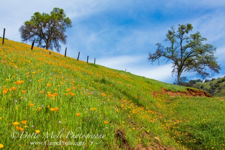 Poppies in Amador county, CA