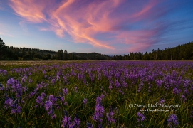 An Alpine Meadow outside of Truckee, CA